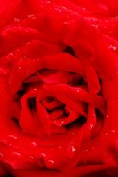 juan_alvaro_red-hot-rose_ykvjr2o.jpg.jpeg